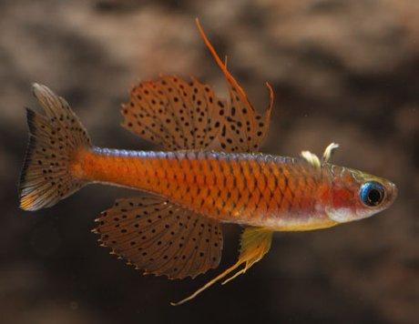 Pseudomugil sp. red neon8