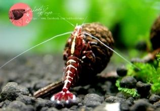Fishbone Shrimp