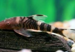 Hypoptopoma (Nannoptopoma) sp. Peru