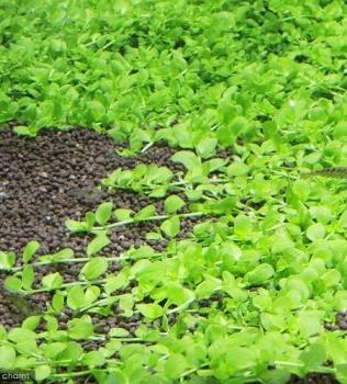 Micranthemum umbrosum sp. 'Monte carlo 3'