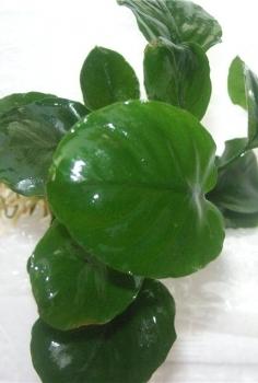 "Anubias barteri var. nana ""coin leaf"""