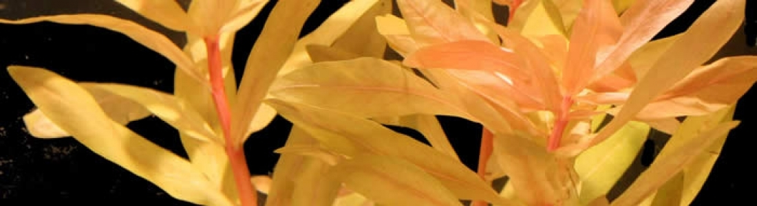 "Nesaea podicellata""Golden"""