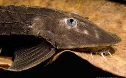 Pseudohemiodon apithanus