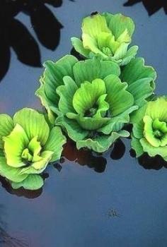 Pistia stratioes (Dwarf Water Lettuce)
