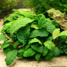 Anubias barteri v. Coffeefolia