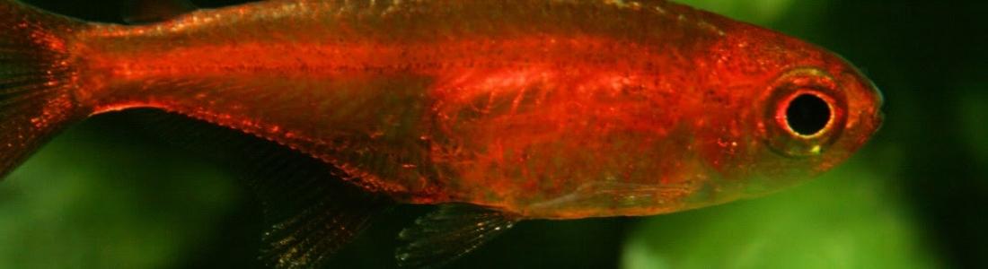 Hyphessobrycon amandae – Ember Tetra