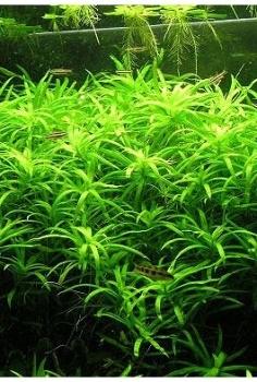 Heteranthera zosterfolia (Stargrass)