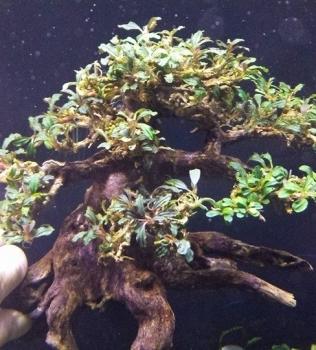 Bucephalandra Brownie Phantom Tree