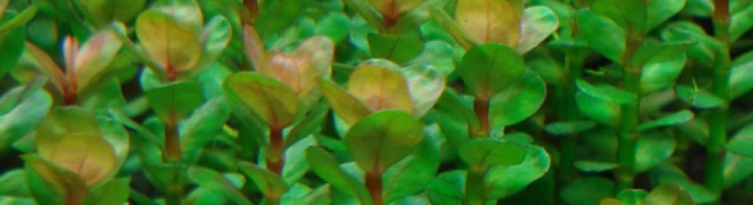 Lindernia sp. india