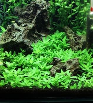 Staurogyne repens & The Aquatic Plant Society u2013 2014 u2013 January