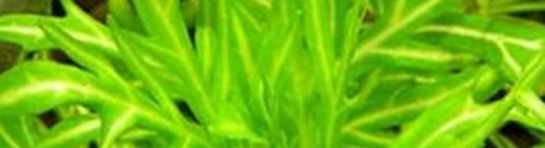 Hygrophila difformis 'Variegated'