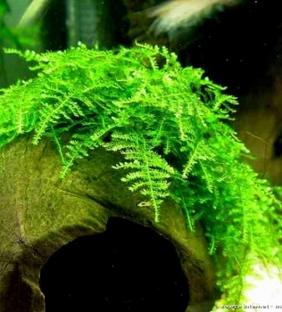 Vesicularia Montagnei (Christmas moss)